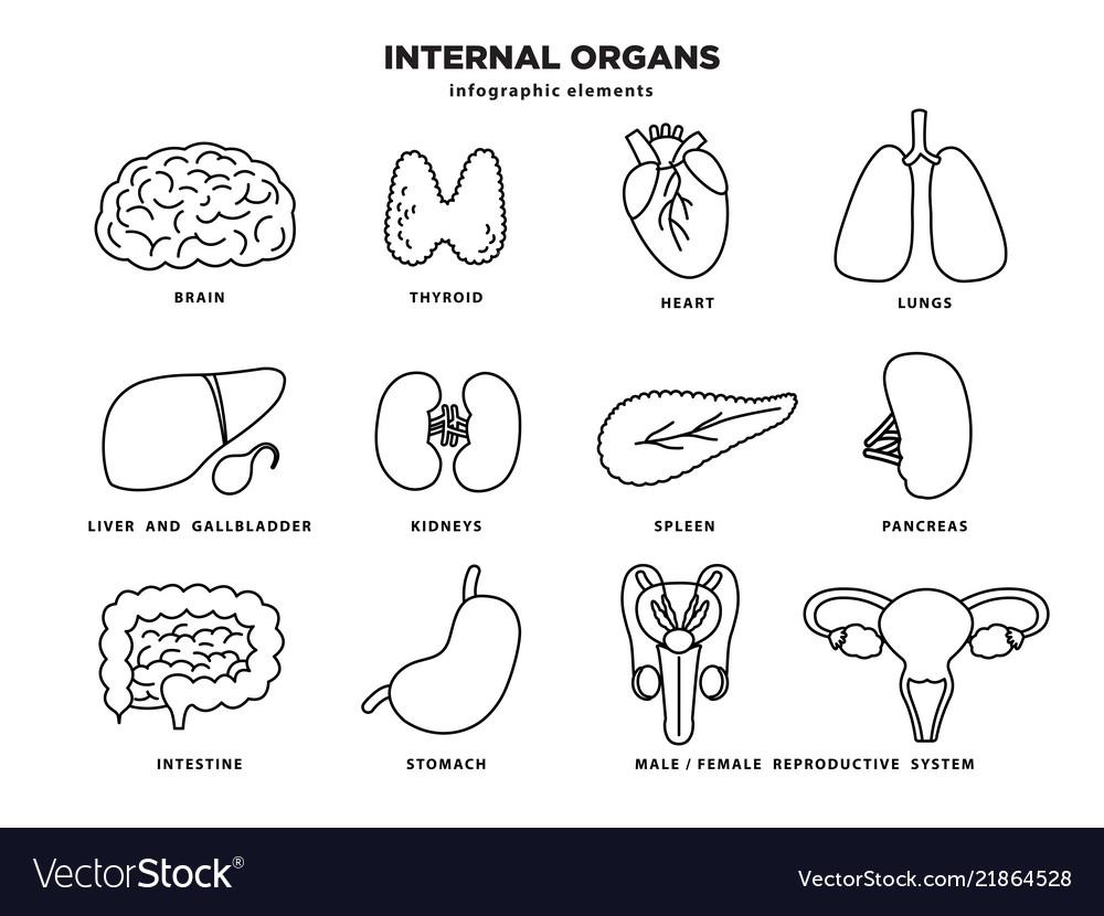 Internal organs icon set human organs infographic
