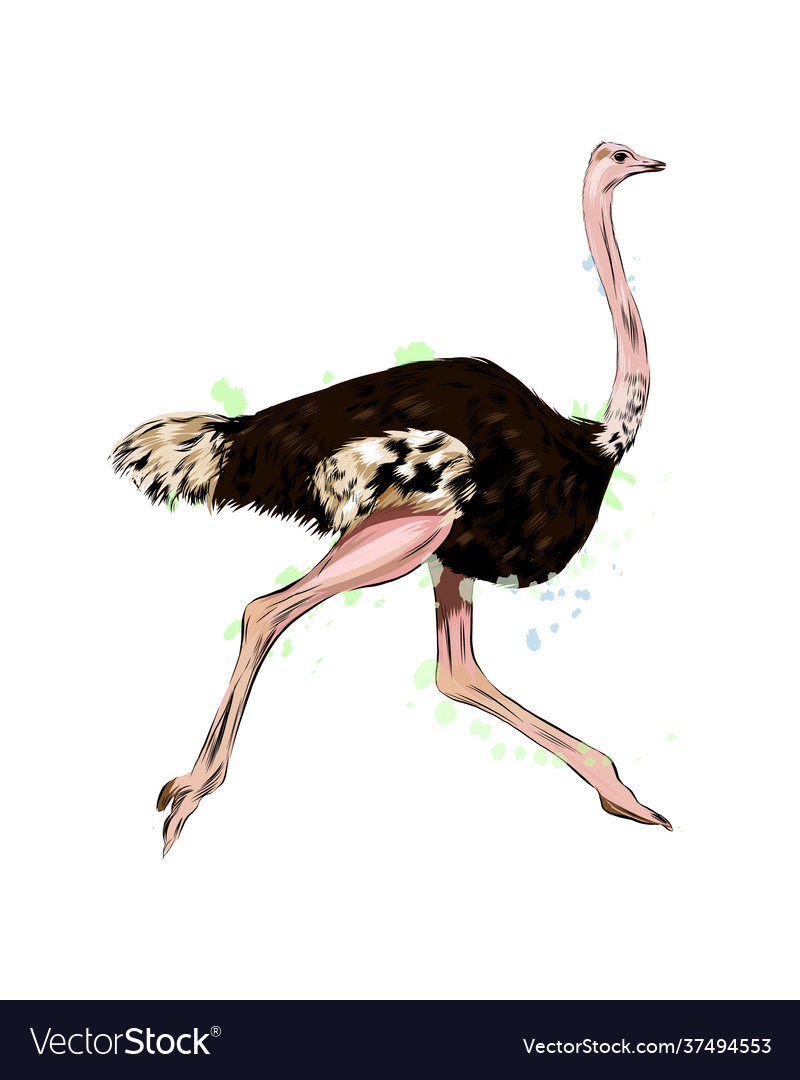 Ostrich from a splash watercolor colored