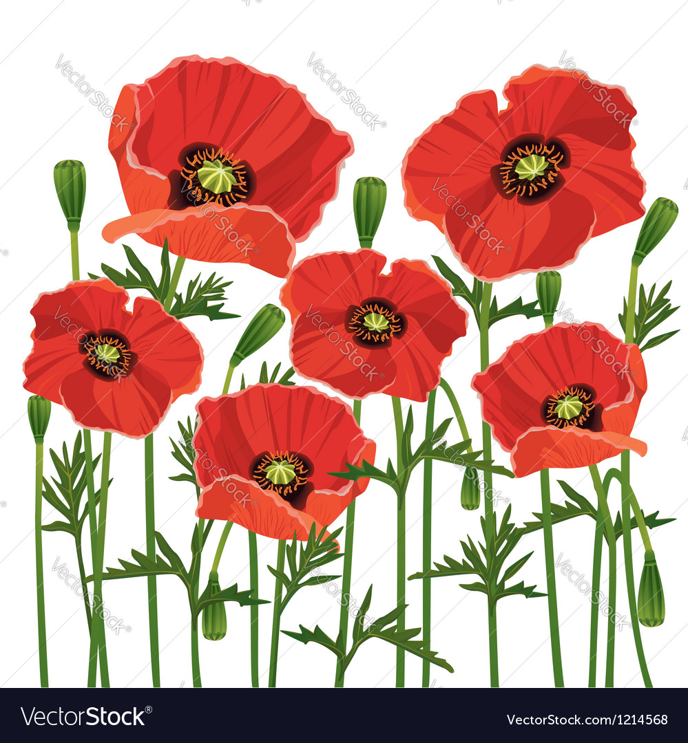 Flowers poppies isolated on white background vector image mightylinksfo