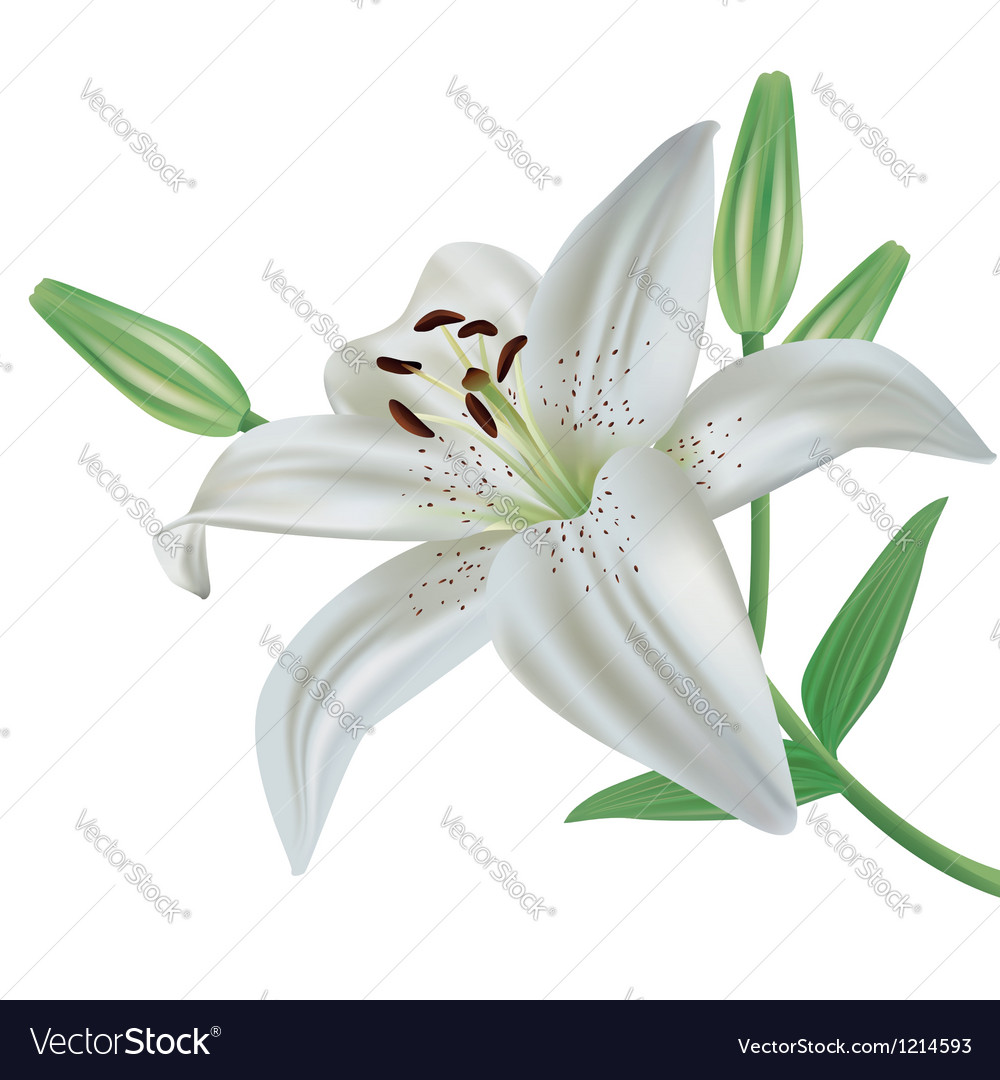 Lily flower isolated on white background vector image izmirmasajfo