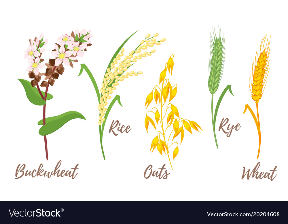 Set of cereals vector image