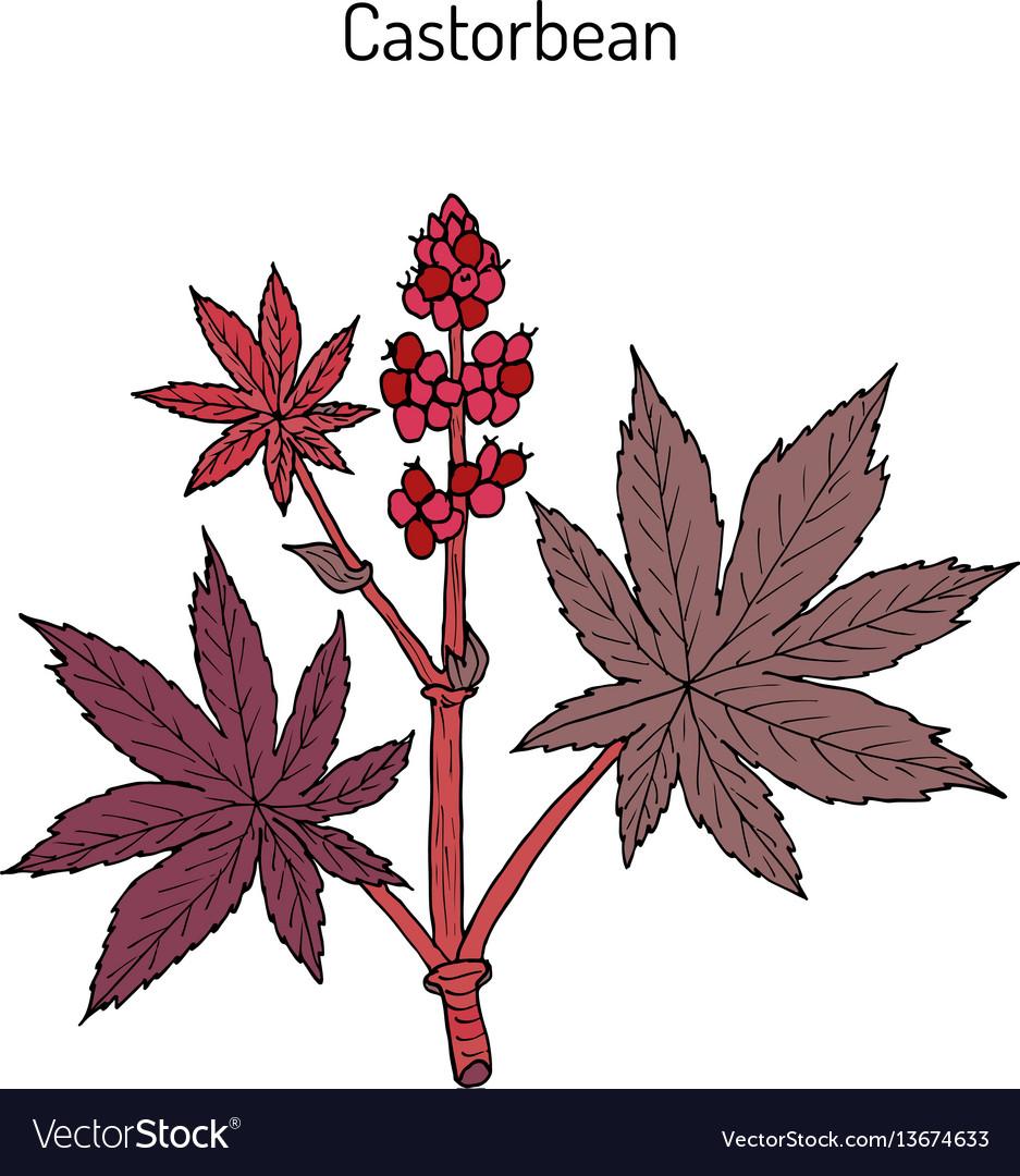 Castorbean Or Castor Oil Plant Ricinus Communis Vector Image