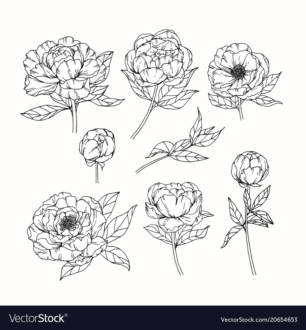 Peony flower drawing royalty free vector image peony flower drawing vector image mightylinksfo