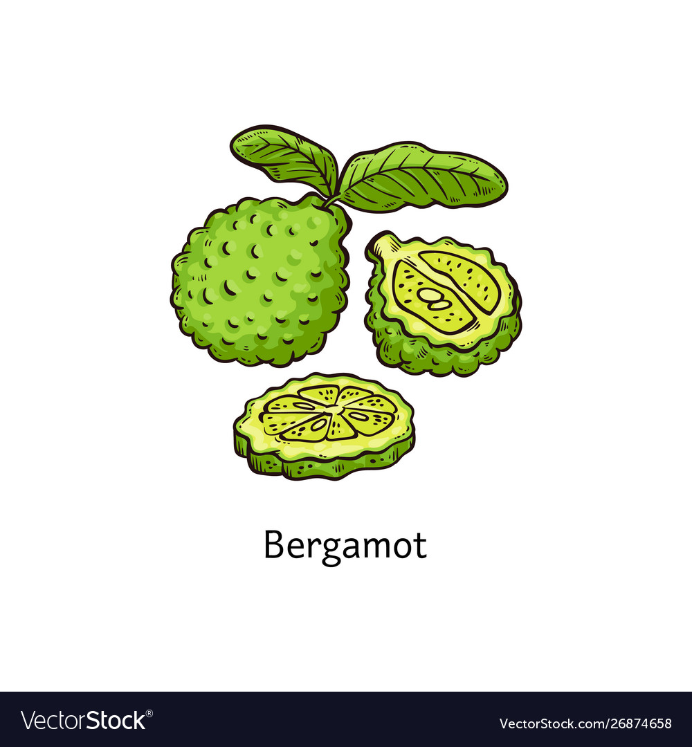 Bergamot fruit isolated drawing