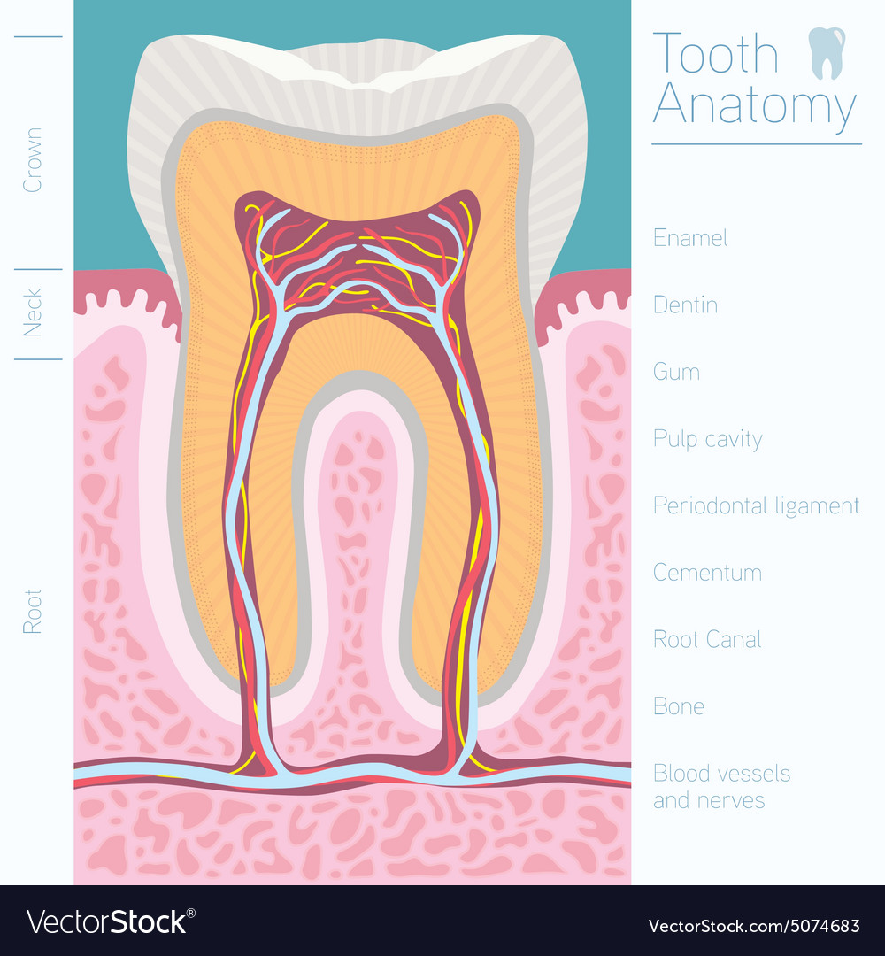 Tooth medical anatomy with words Royalty Free Vector Image