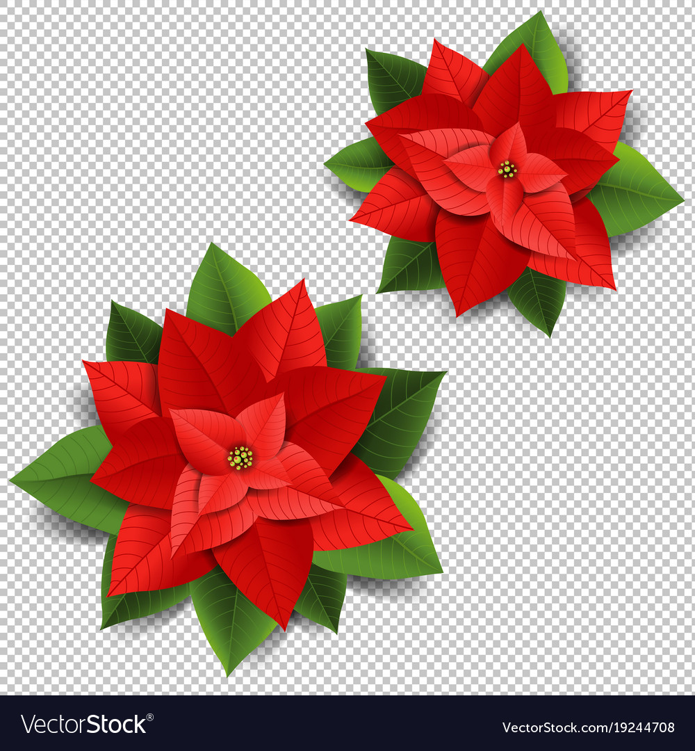 Christmas poinsettia isolated transparent vector image mightylinksfo
