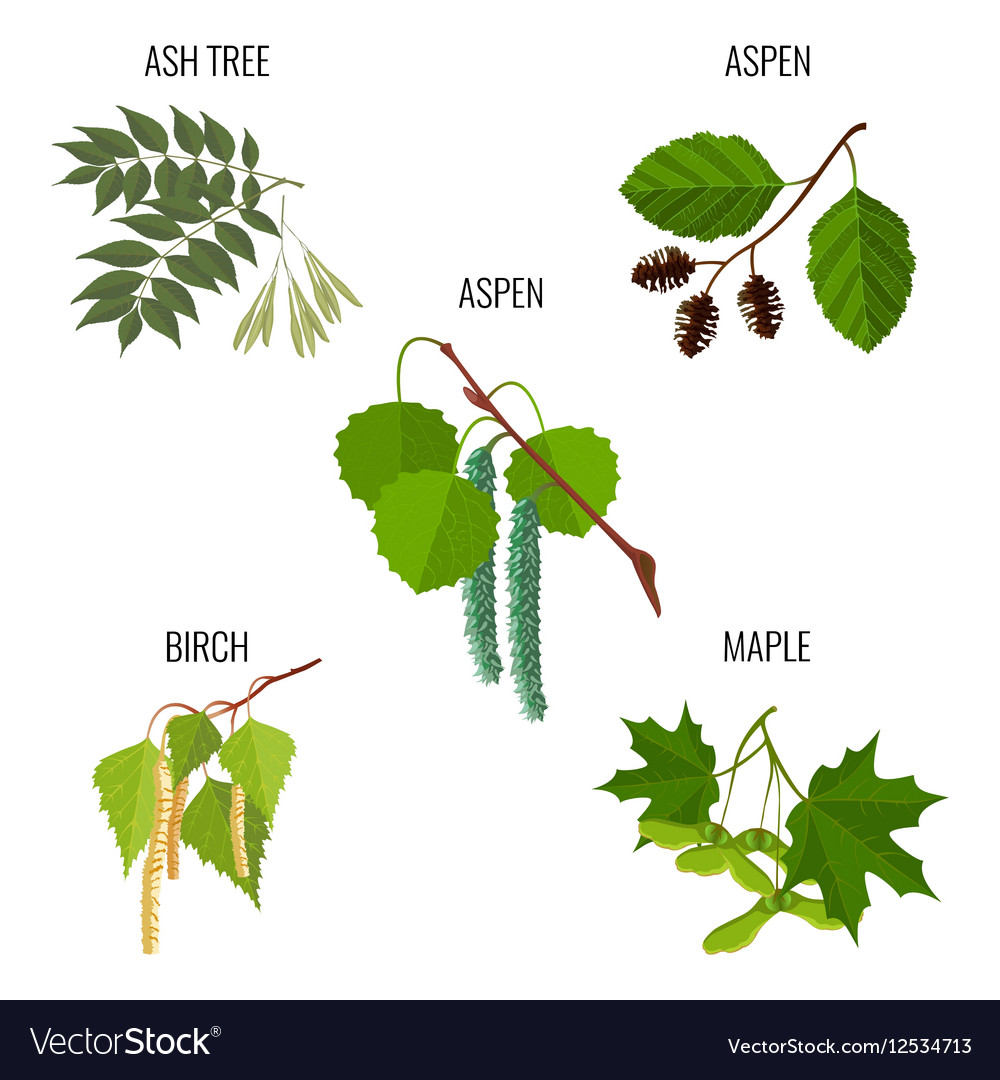 Ash tree leaves aspen flowers birch buds and vector image