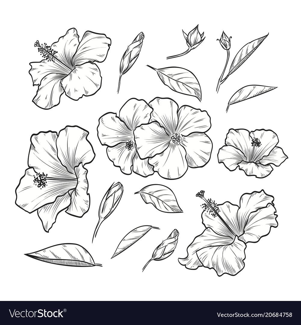 Hand drawn elegant hibiscus vector image