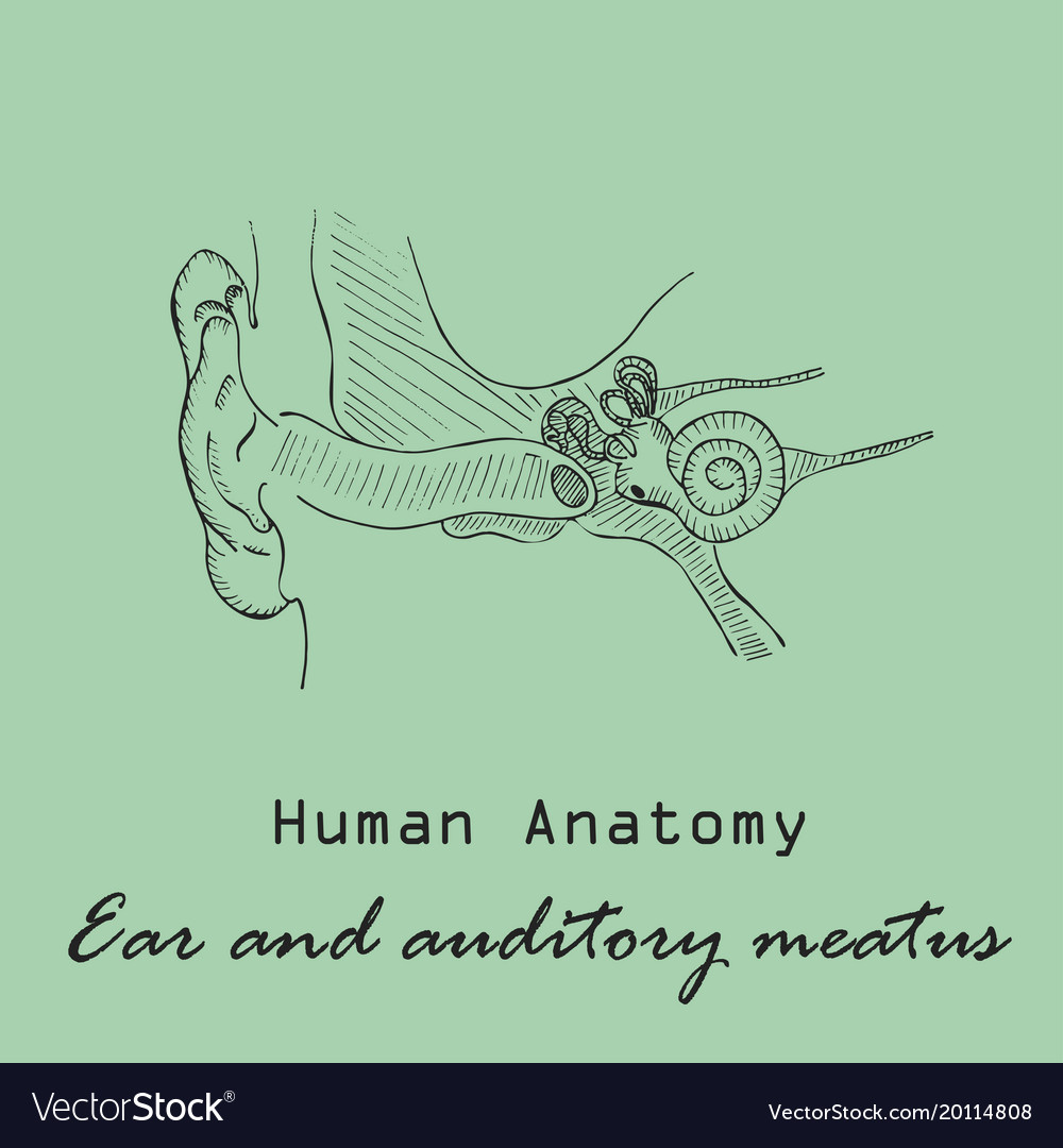 Handdrawn human external auditory meatus Vector Image