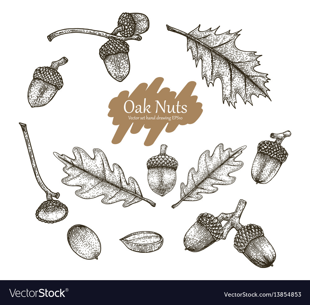 Acorn collection set hand drawing vintage s