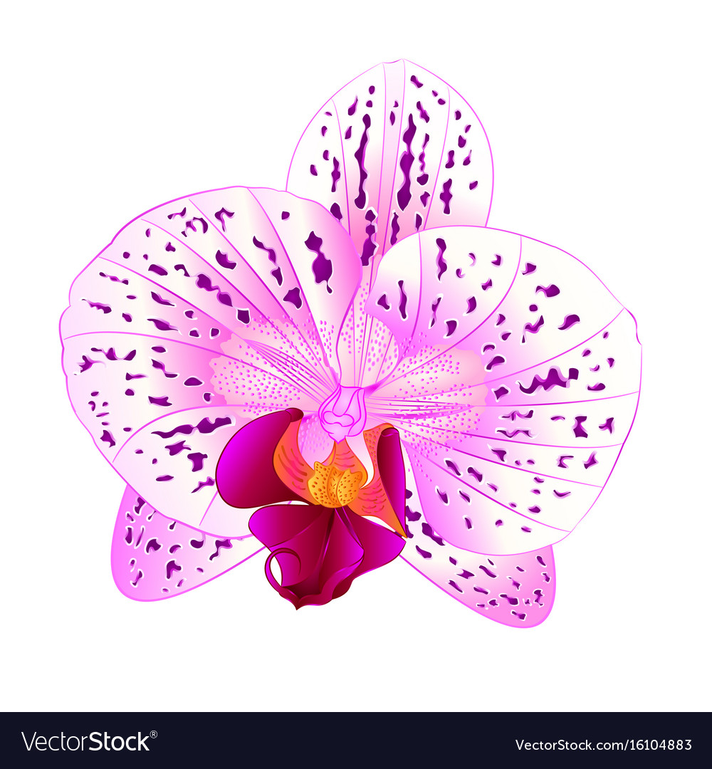 Beautiful purple and white orchid phalaenopsis