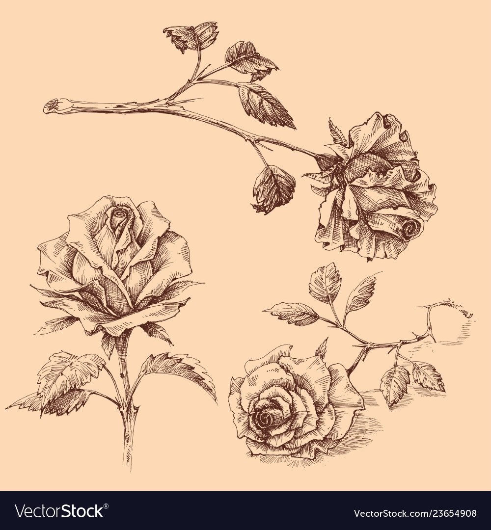 Hand drawn roses set isolated
