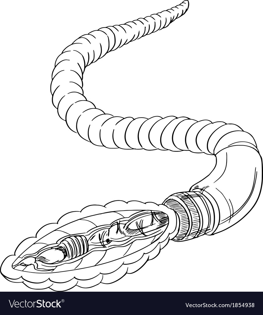 Earthworm anatomy outline Royalty Free Vector Image