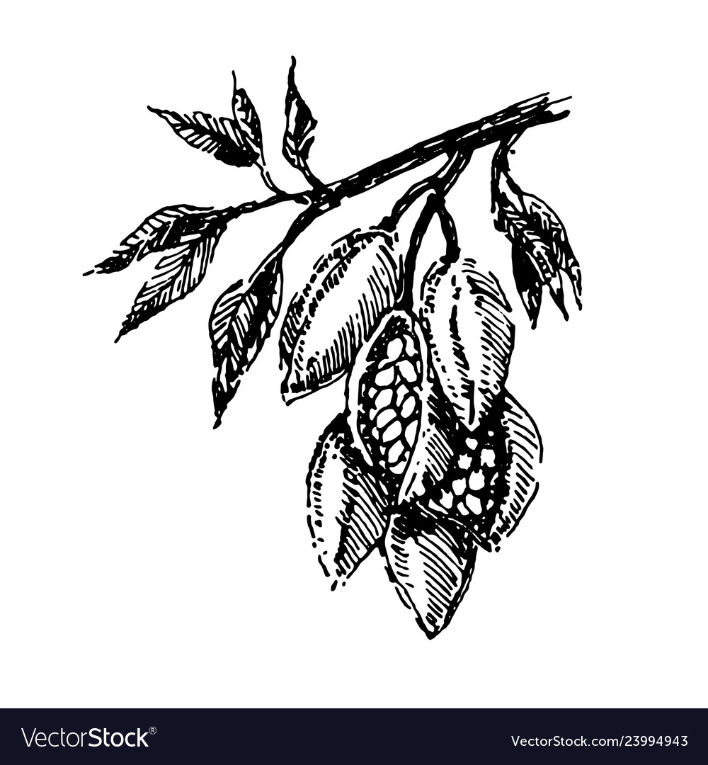 Branch with cocoa beans plant hand draw