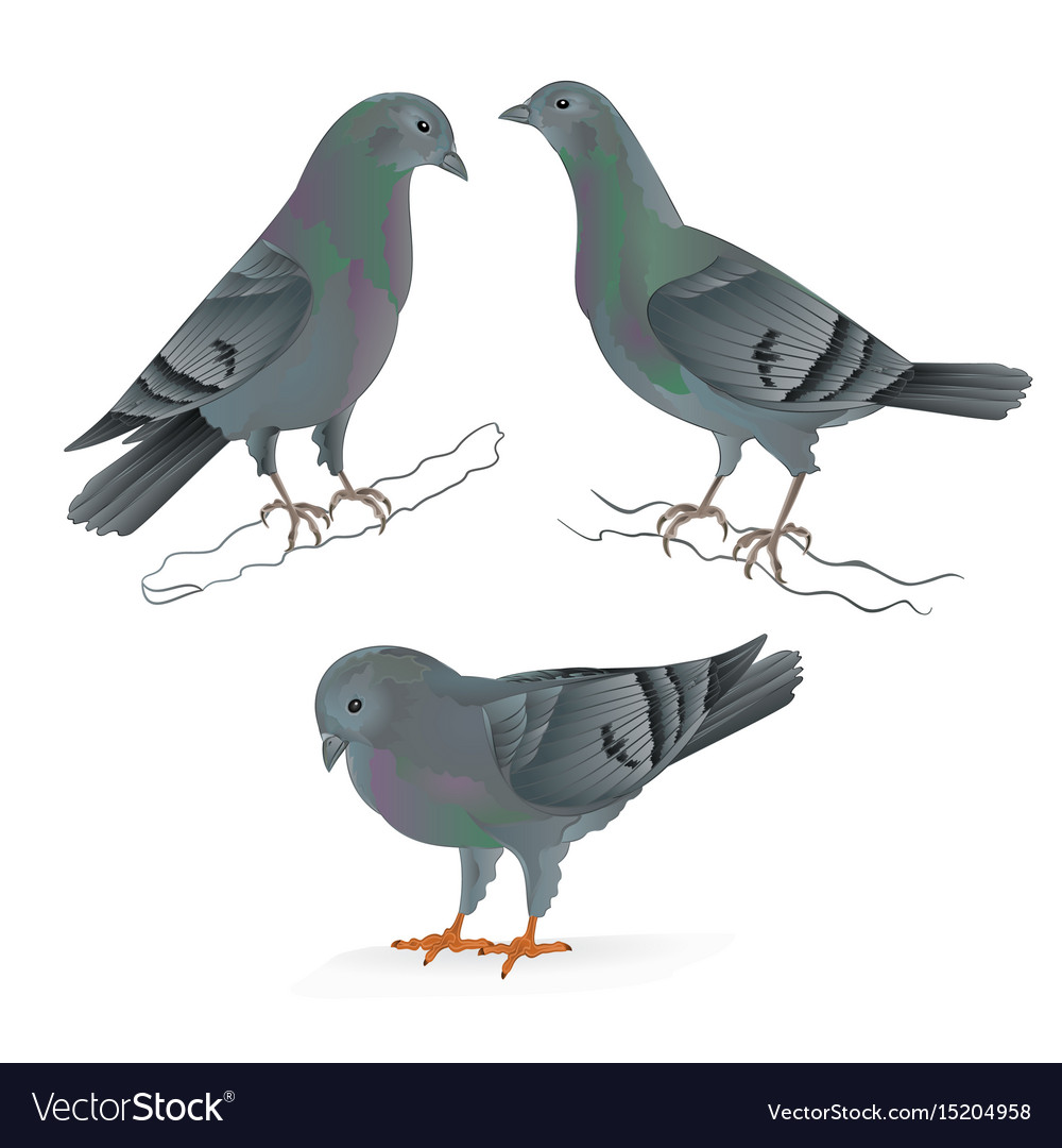 Carriers pigeons domestic breeds sports birds
