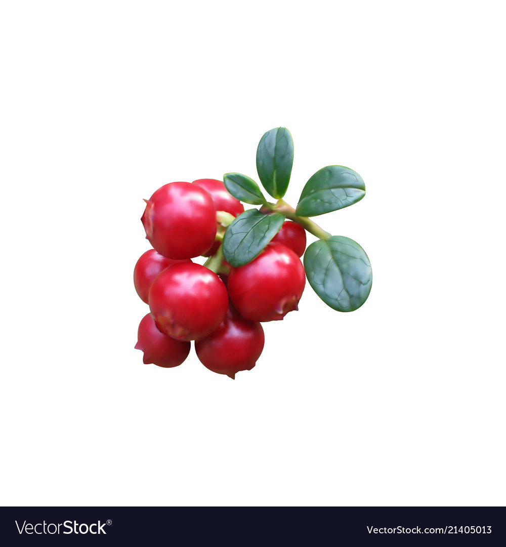 Cowberry colorful isolated on Royalty Free Vector Image