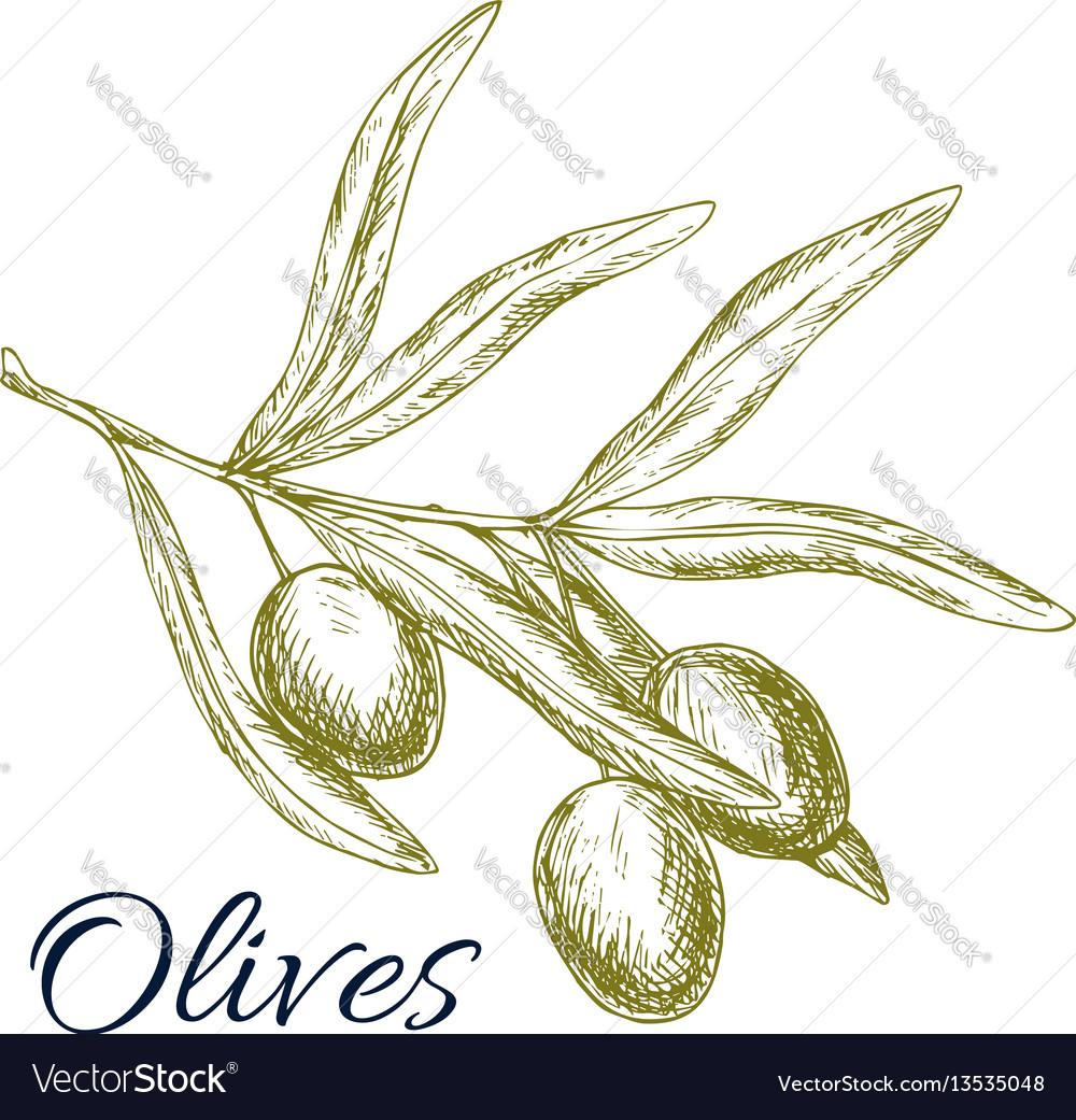 Green olives branch sketch vector image