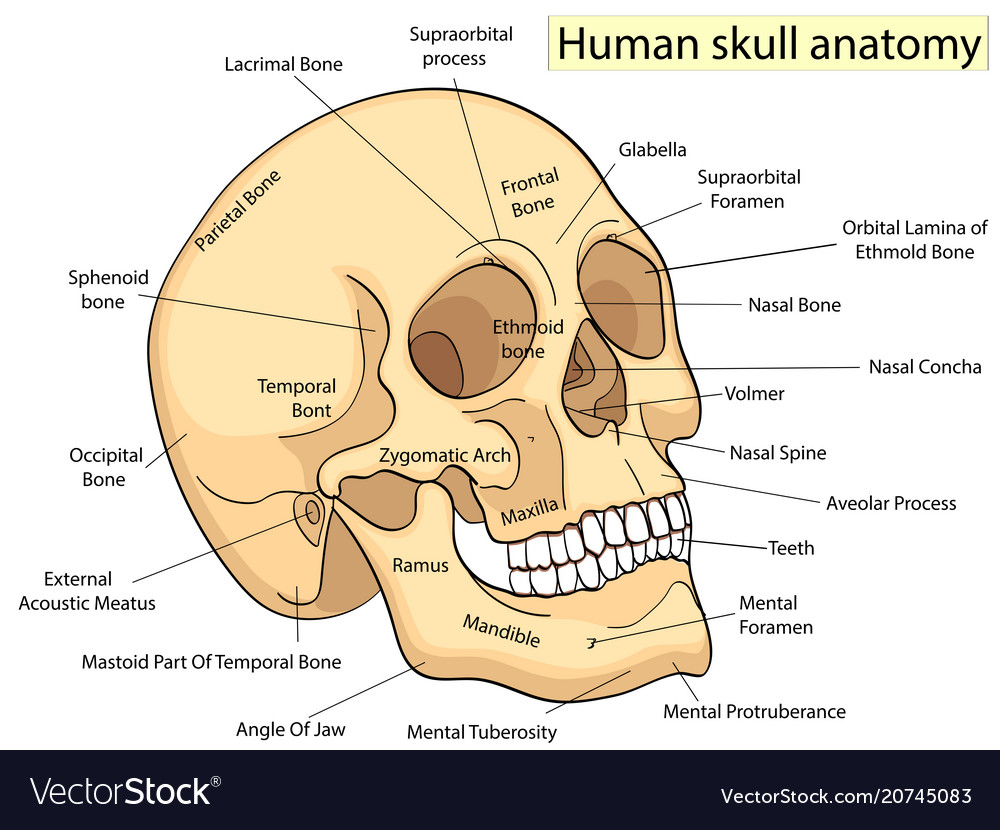 Nasal Bone Vector Images 42