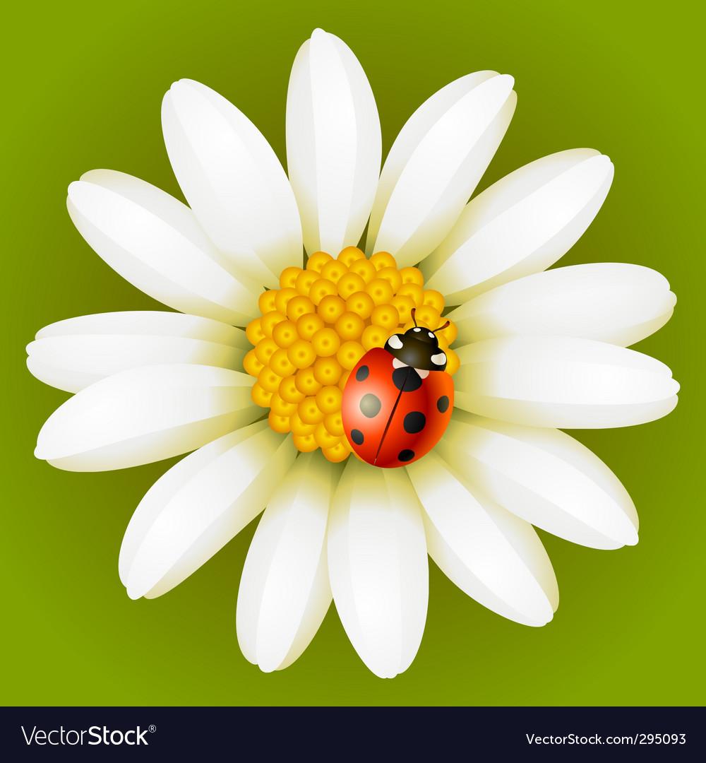 Chamomile and ladybug vector image