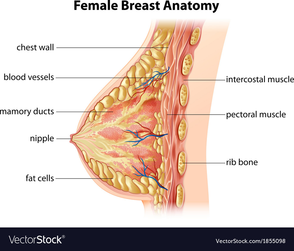 Female Breast Anatomy Royalty Free Vector Image