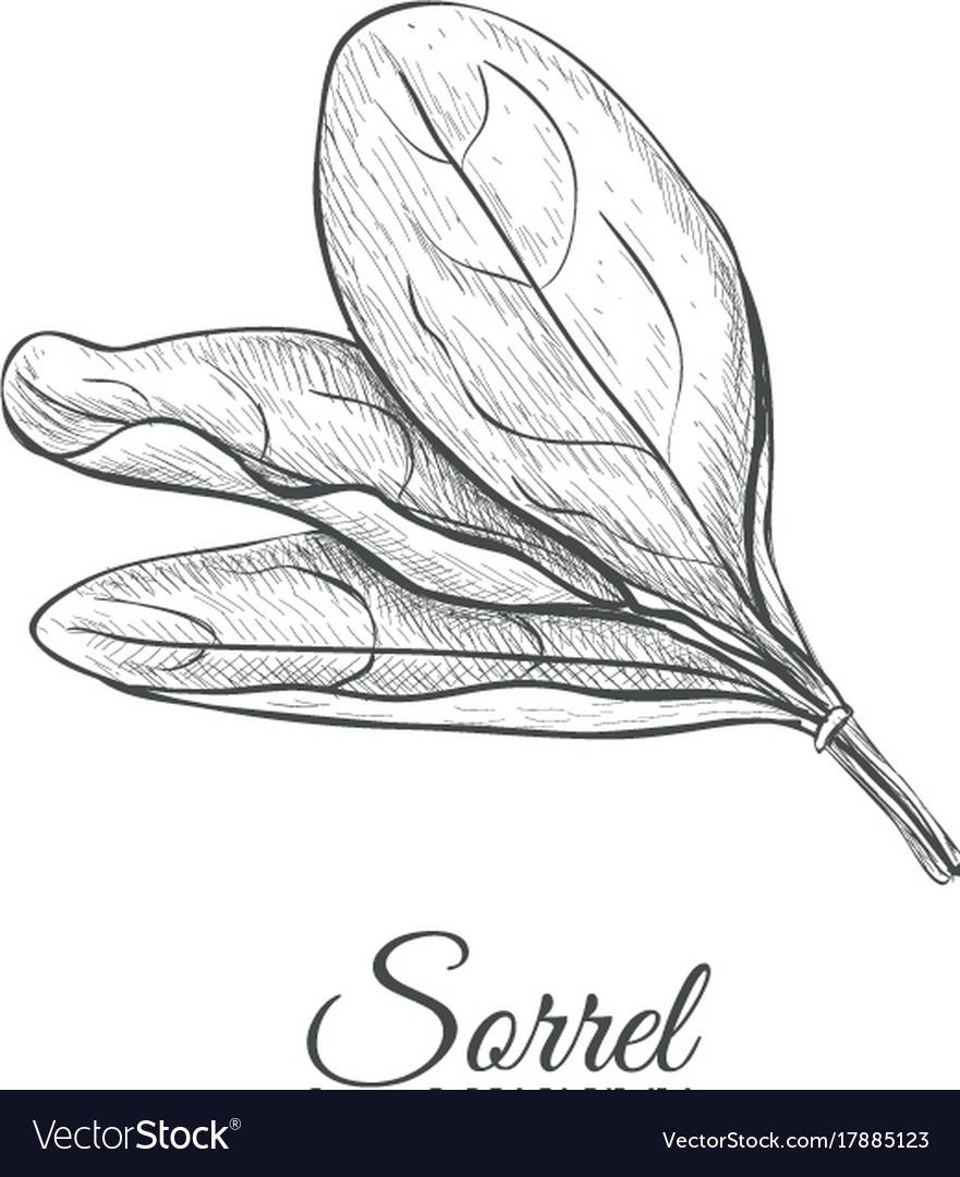 Sorrel hand drawing