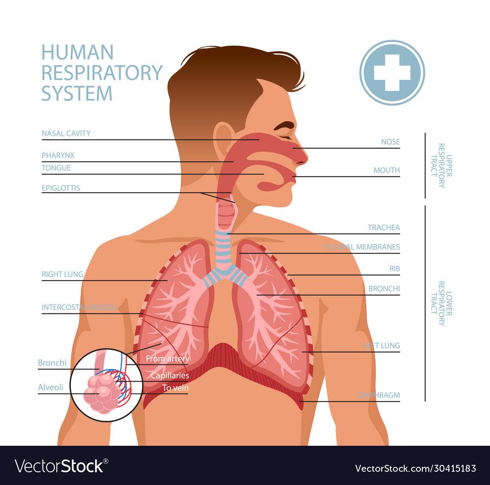 Human Respiratory System Royalty Free Vector Image