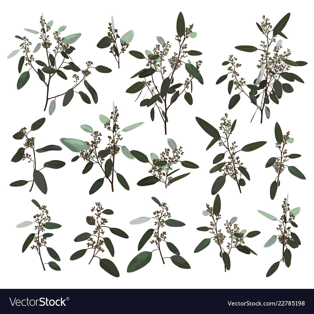 Eucalyptus silver zerin cineraria greenery gum