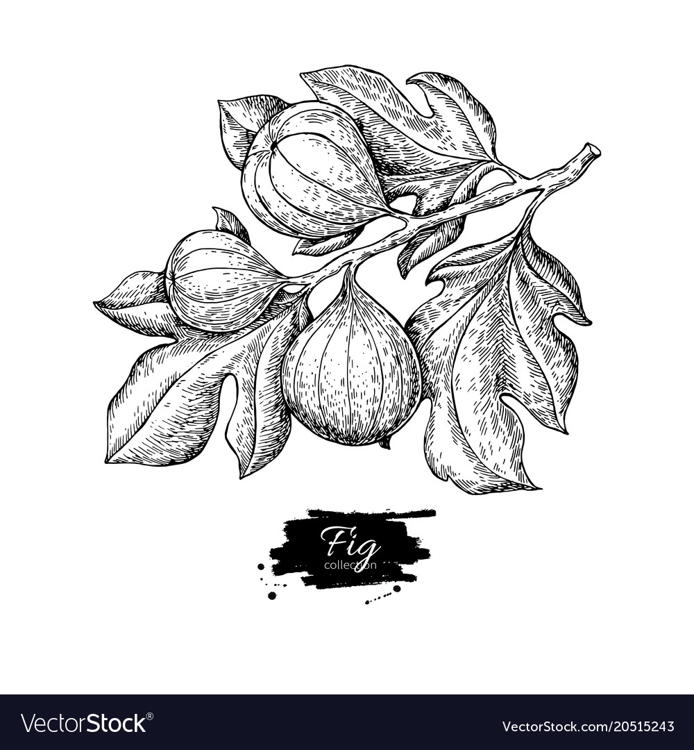 Fig branch drawing hand drawn isolated vector image