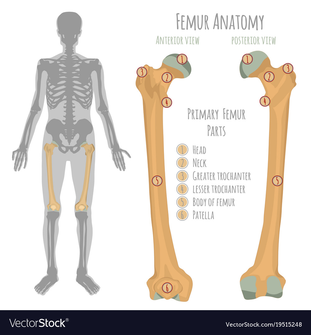 Male Hip Bone Anatomy Royalty Free Vector Image