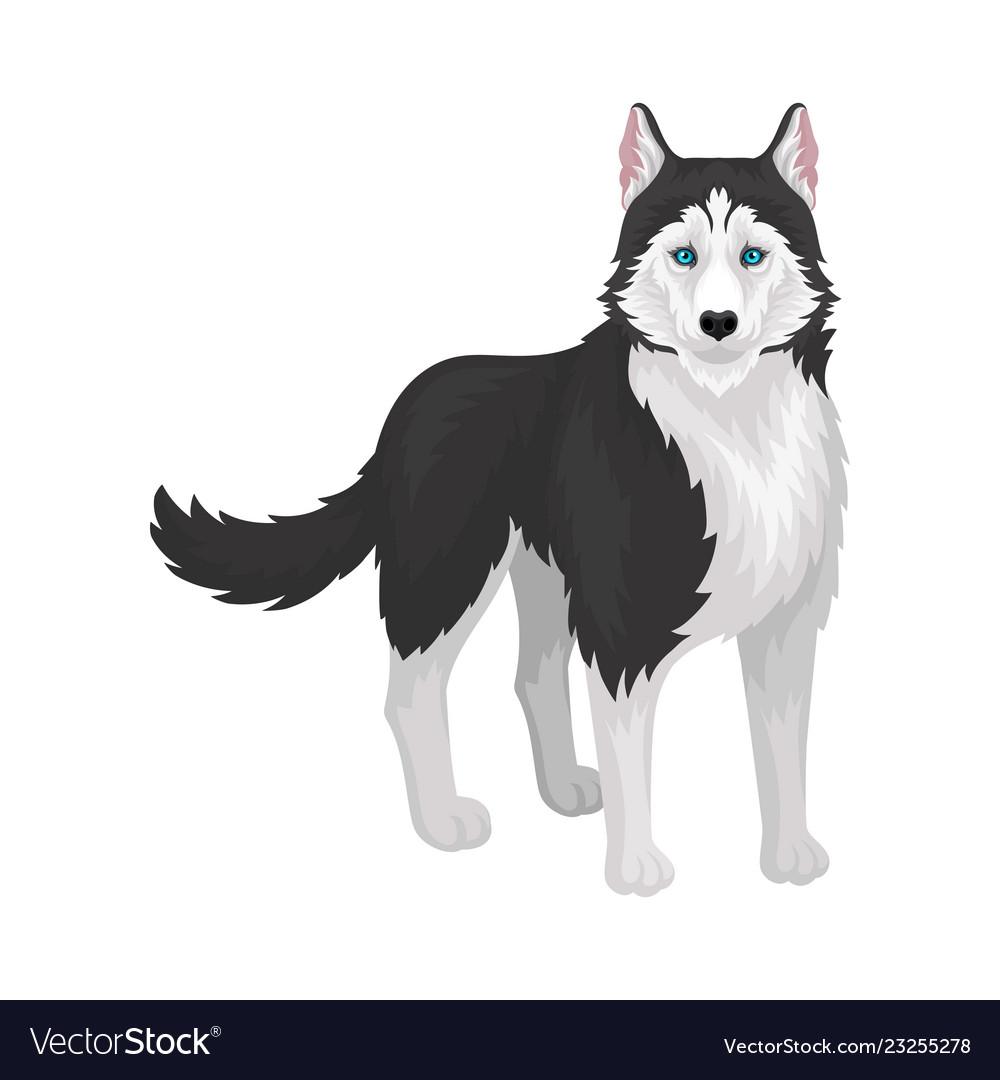 Siberian husky white and black purebred dog