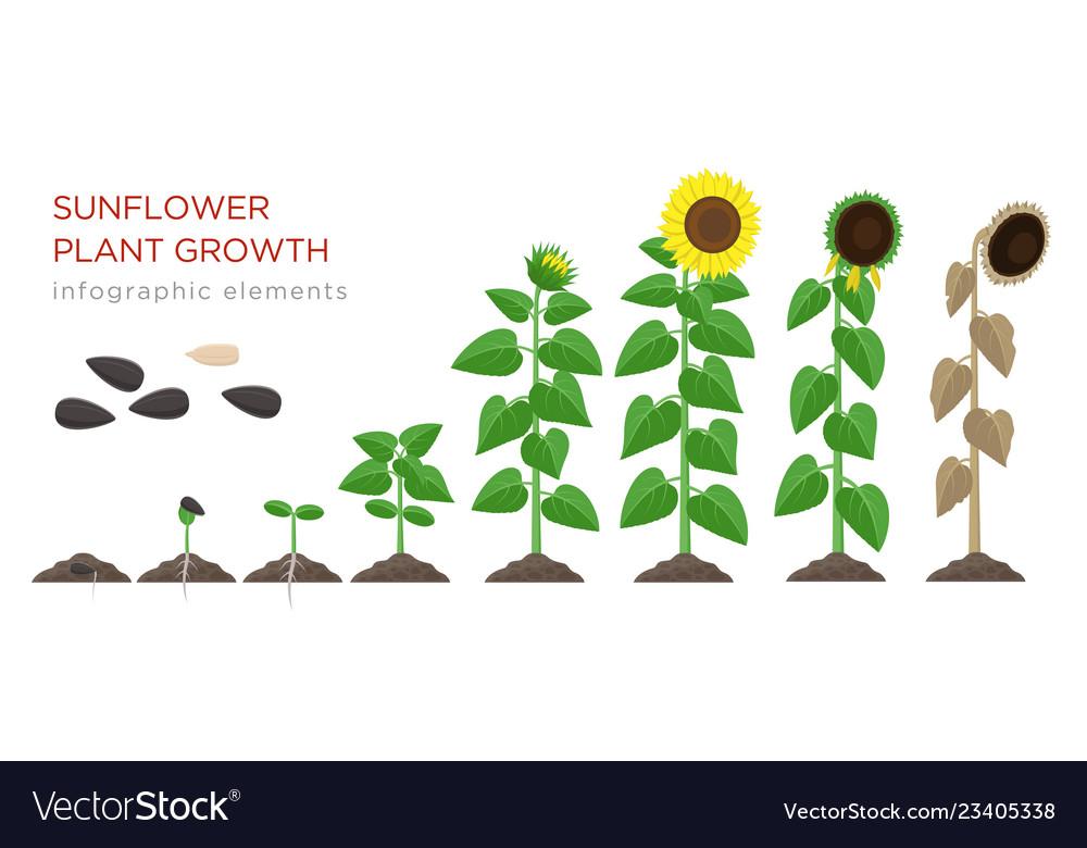 Sunflower growing process flat