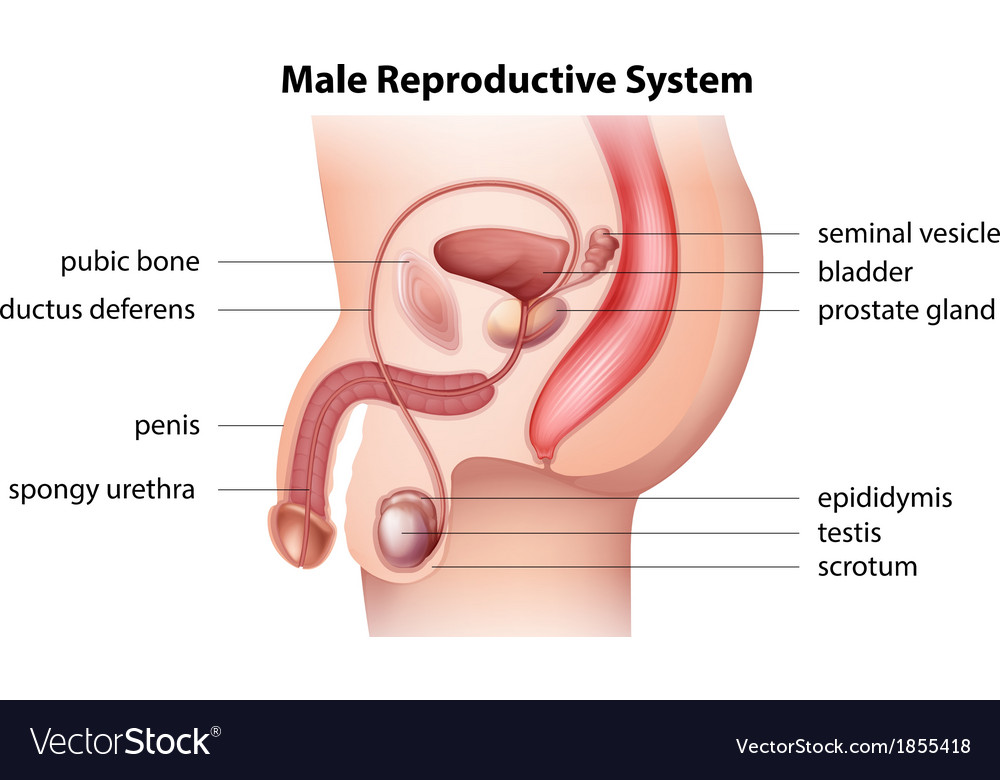 Male Reproductive System Royalty Free Vector Image