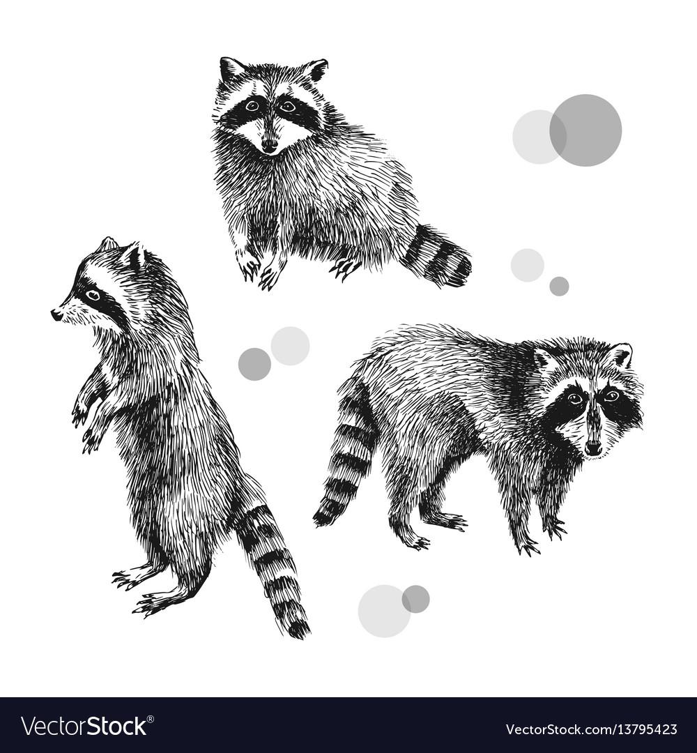 3 hand drawn raccoons vector image