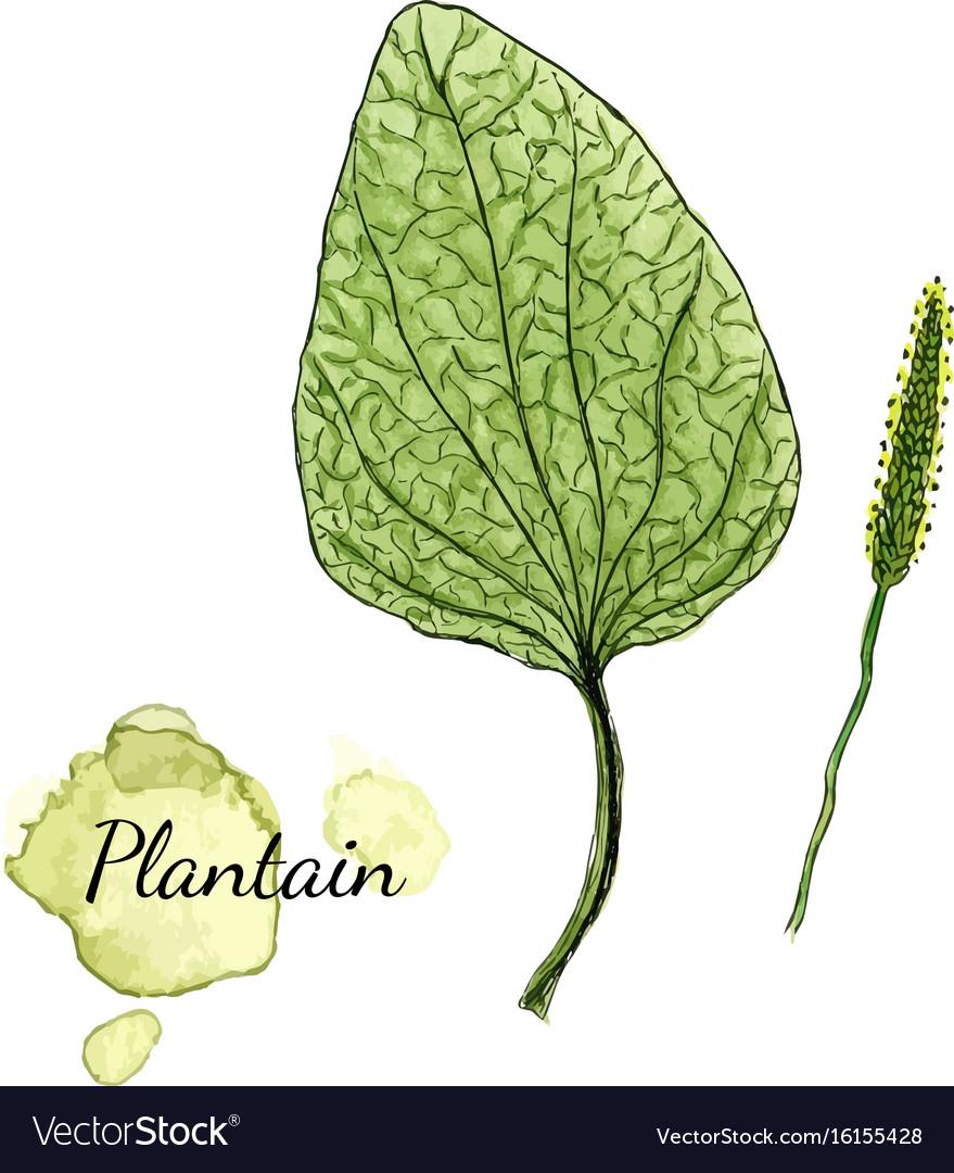 Watercolor plantain medicinal herb vector image