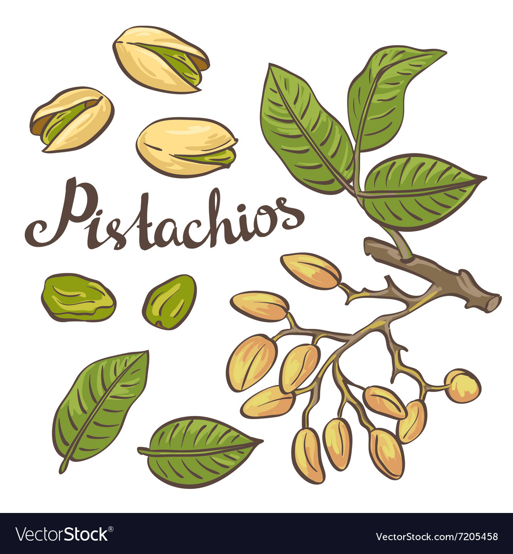 Pistachio nuts with leaves and pistachio tree
