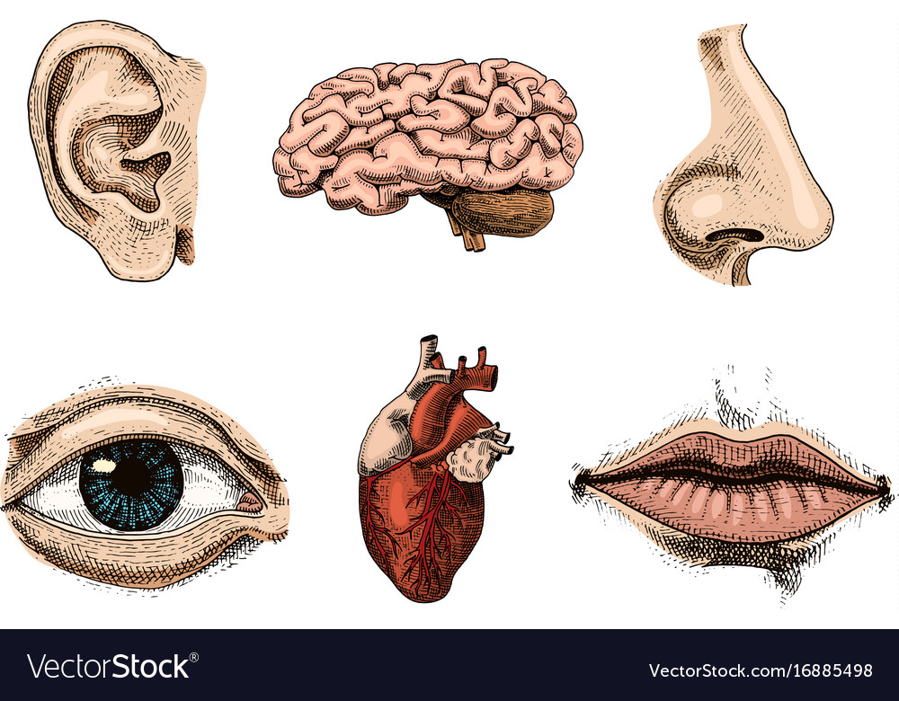 Human biology organs anatomy Royalty Free Vector Image