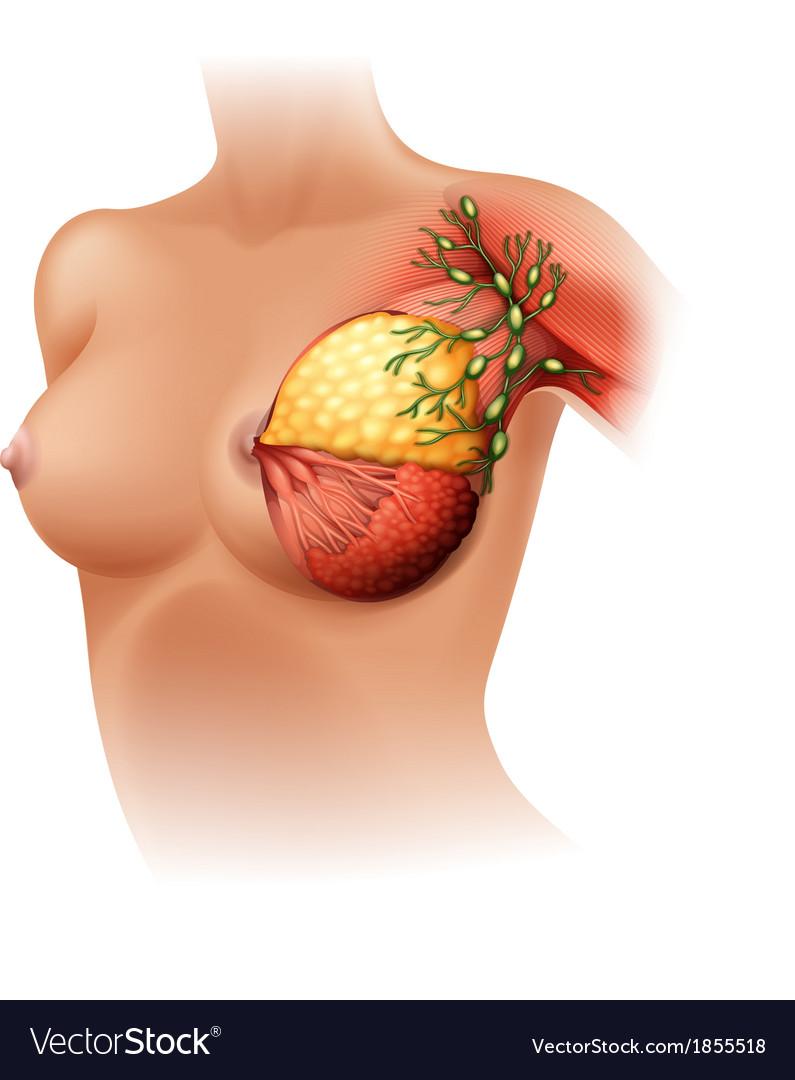 Breast Anatomy Royalty Free Vector Image - VectorStock