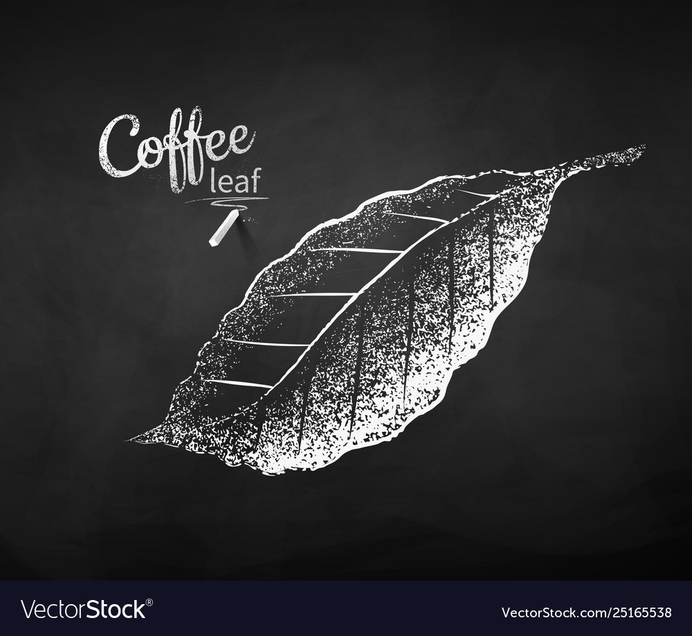 Chalk drawn sketch coffee leaf