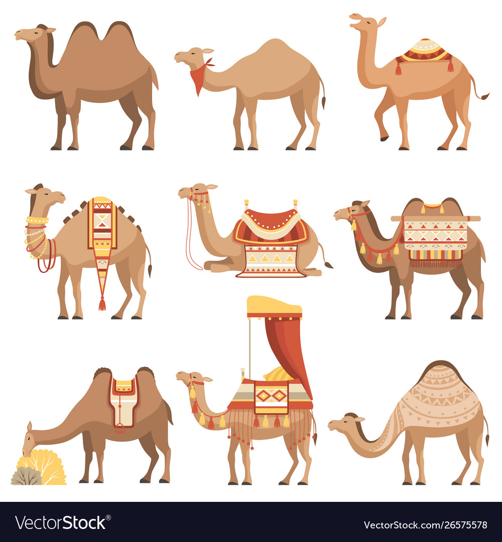 Camels set desert animals with bridles and