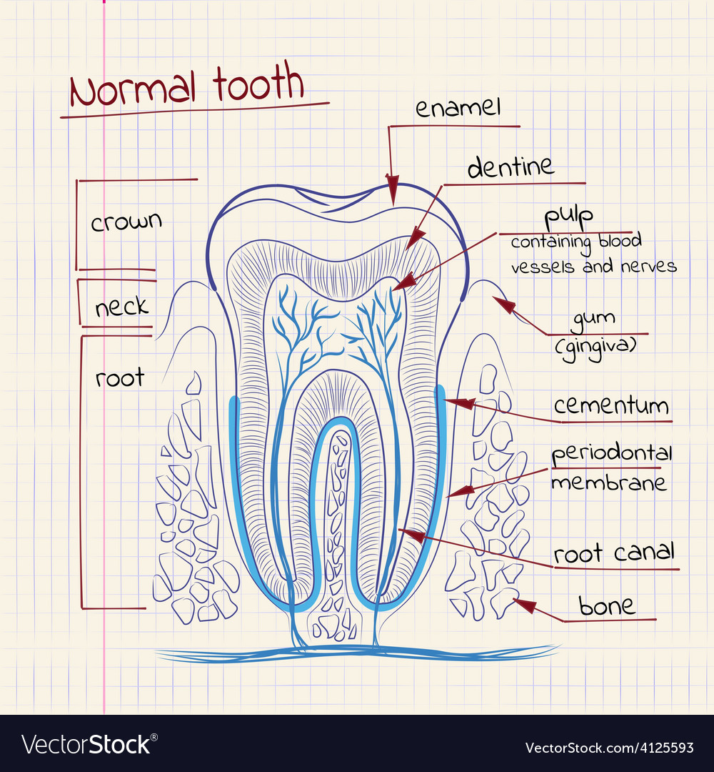Tooth structure Royalty Free Vector Image - VectorStock