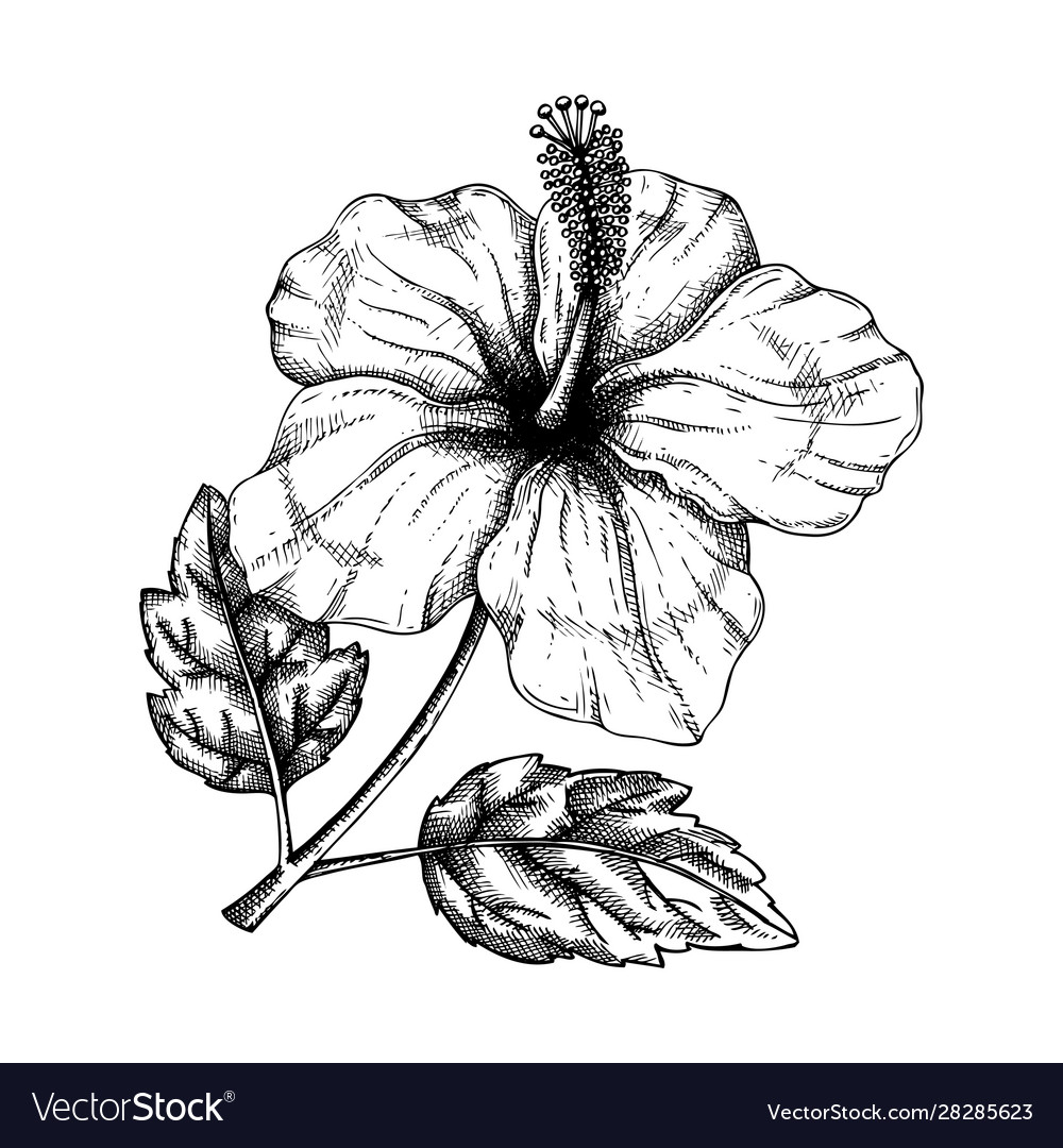 Hibiscus flower with leaves botanical hand drawn