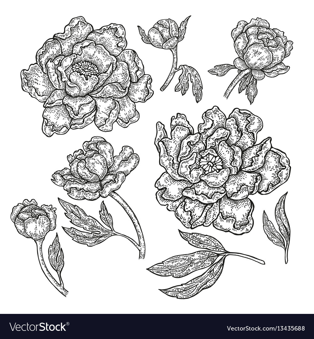Hand drawn peony flowers and leaves isolated on