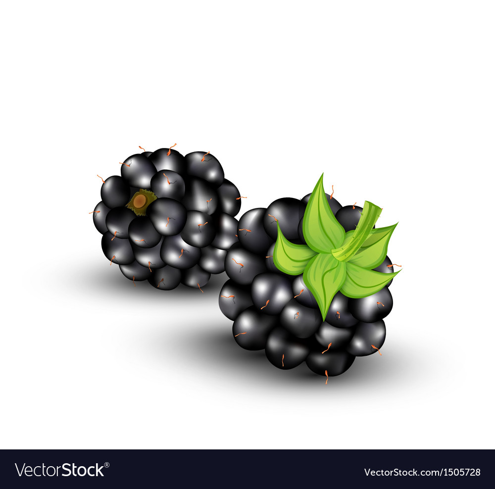 Blackberries on a white background vector image