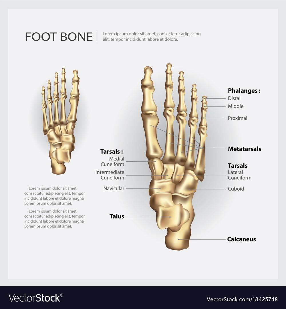 Foot Bone Royalty Free Vector Image Vectorstock