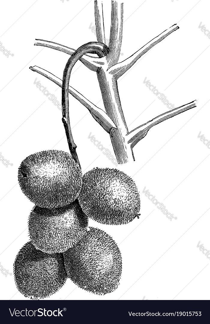 Cluster fruits juglans ailantifolia vintage