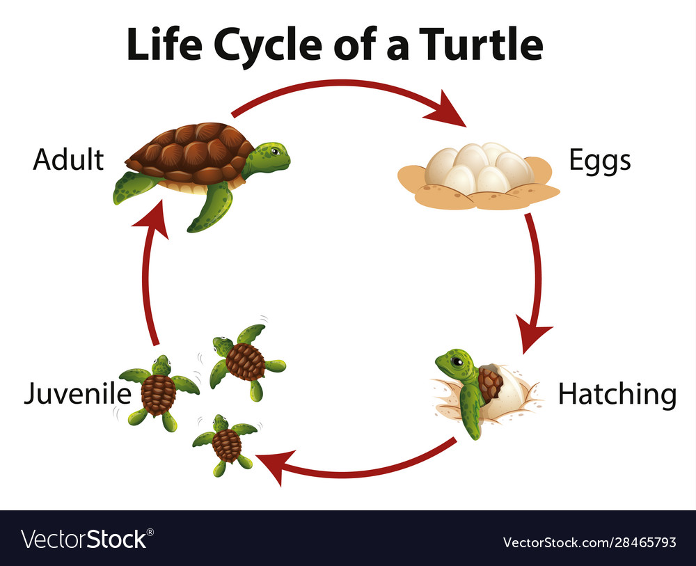 Diagram Showing Life Cycle Sea Turtle Royalty Free Vector