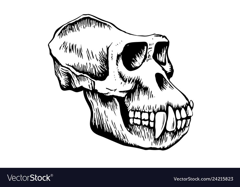 Monkey skull sketch