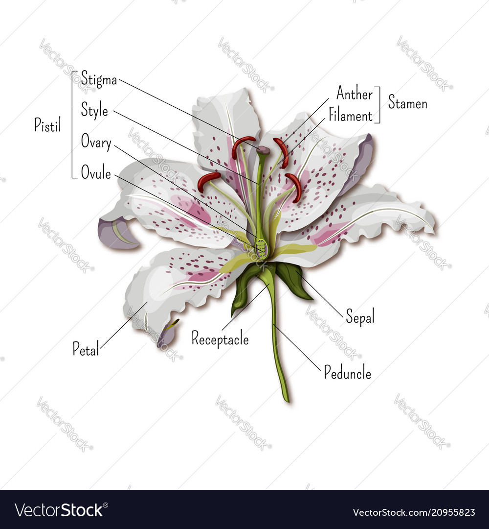 Parts of the flower infographics lily flower vector image izmirmasajfo