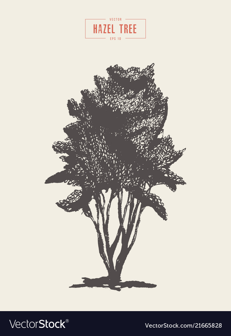 High detail vintage hazel tree hand drawn