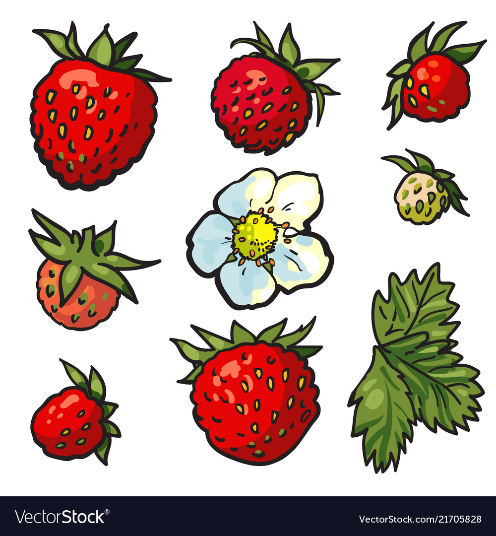 Sketch wild strawberry set flowers with leaves